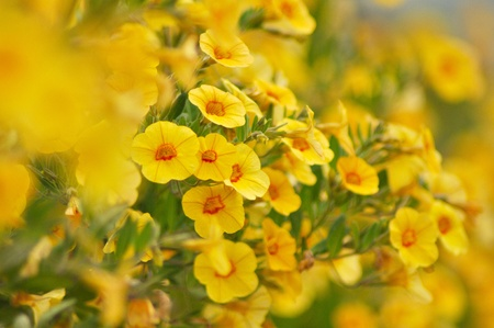 yellow flowers in a pot, close up image photo