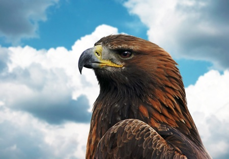 Beautiful  grown golden eagle, close up portrait photo
