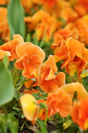 Orange flowers in a pot, close up image photo