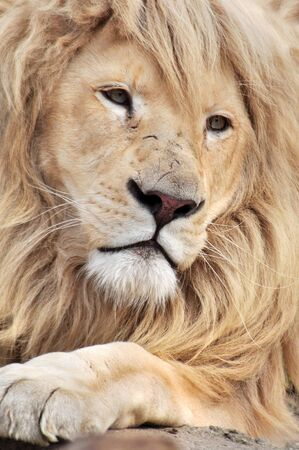 Close up portrait of a white lion male animal. Stock Photo