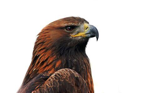 golden eagle: Sch?ewachsen Steinadler, Nahaufnahme Portr?