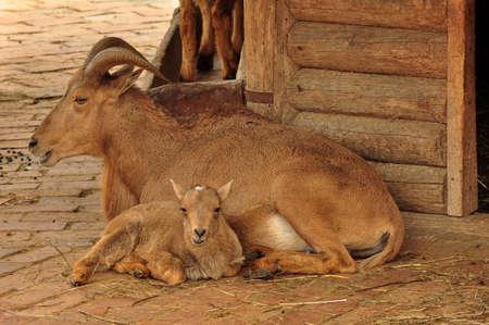 mountain goats: Ritratto di capre di montagna in uno zoo di Belgrado