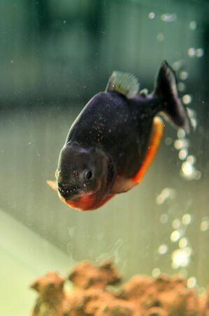 Piranha in a planted aquarium, low light conditions photo