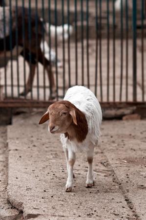 A cute lamb in the backyard. photo