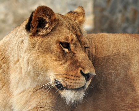 Close up portrait of a white lioness Stock Photo - 9758116