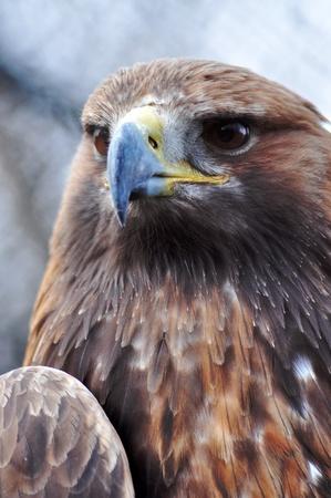 Beautiful  grown golden eagle, close up portrait