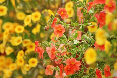 Orange and yellow flowers in a pot, close up image photo