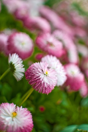 Pink flowers in the garden, close up image photo