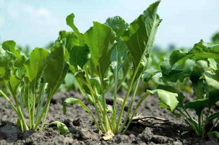 Eine junge Zuckerrübe im Boden