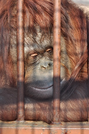 Close up portrait of an orang-utan behind the bars in the zoo with the sad look in his eyes. photo