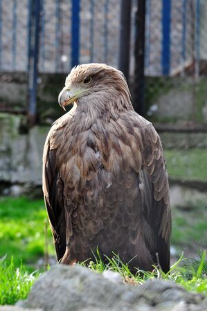 captivated: Hawk captivated in the zoo park