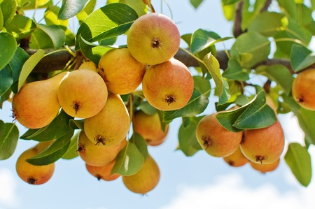 A bunch of Pears on the branch, close up image. photo