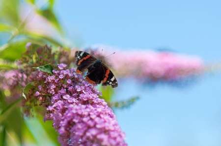 Batterfly and purple lillac, shallow depth of field photo