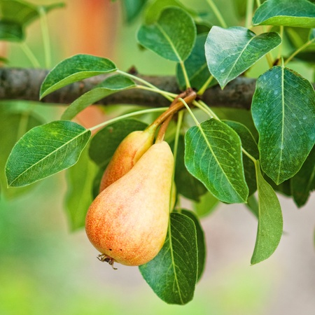 Een bos van peren op de tak, close-up in beeld.