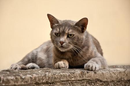 intent: Gray stray cat at the street. Stock Photo