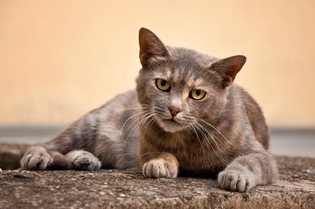predatory: Gray stray cat at the street. Stock Photo