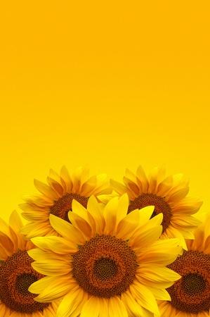 Beautiful large yellow sunflower petals photo