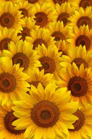 Beautiful large yellow sunflower petals Stock Photo - 10252401