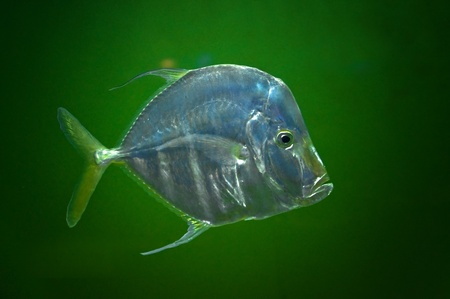 brilliant   undersea: Naso vlamingii, A big nose fish against green background Stock Photo