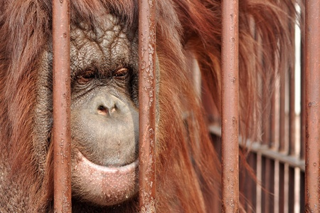 desperation: Close up portrait of an orang-utan behing the bars in the zoo with the sad look in his eyes.