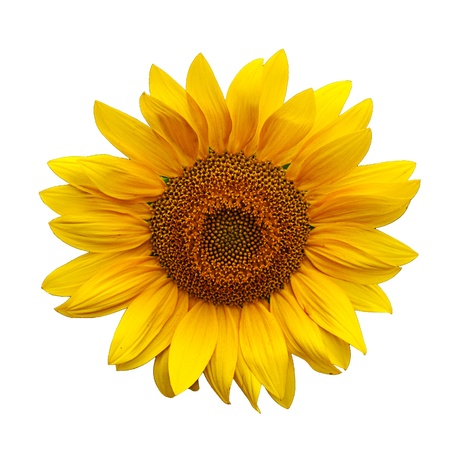 Beautiful large yellow sunflower petals Stock Photo - 10666084