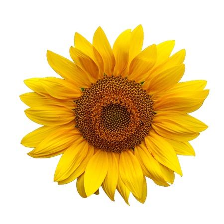 zonnebloem: Mooie grote gele zonnebloem bloemblaadjes Stockfoto
