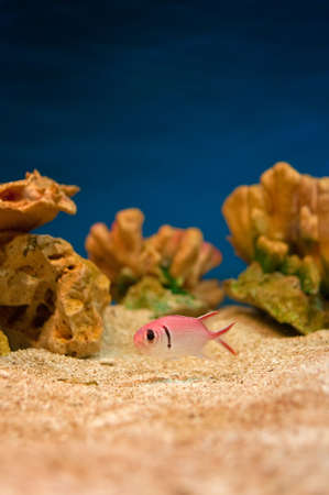 Beautiful pink sea fishes in an aquarium. Stock Photo - 10726007