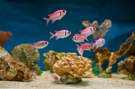 Beautiful pink sea fishes in an aquarium.