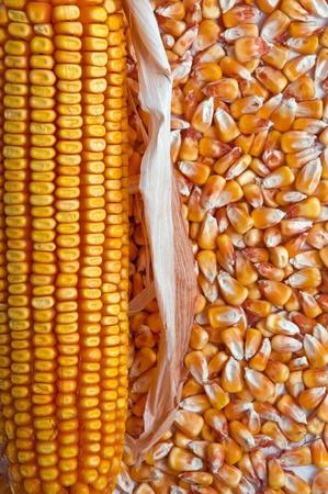 planta de maiz: Oreja hermoso color amarillo de maíz en un follaje de fondo