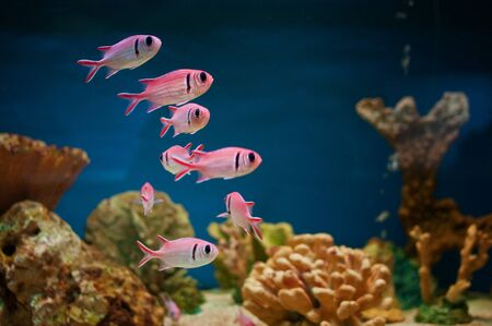Beautiful pink sea fishes in an aquarium. photo