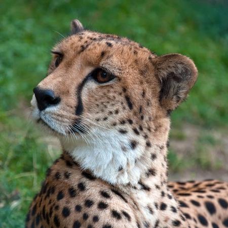 Close-up of a beautiful cheetah (Acinonyx jubatus) resting on the grass Stock Photo - 10858258