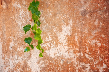 ivy wall: Old, grunge and obsolete rough concrete wall with ivy plant