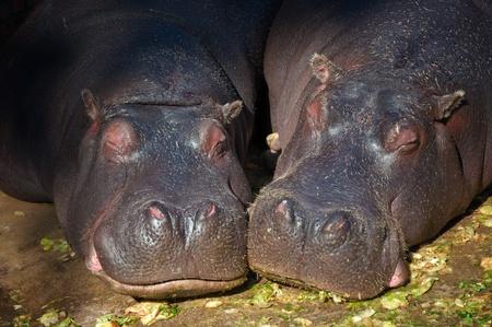 Hippopotamus couple sleeping in the zoo Stock Photo - 10901738