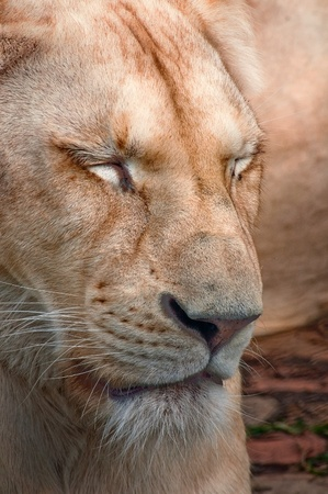 Close up portrait of white female lion. Stock Photo - 10901731