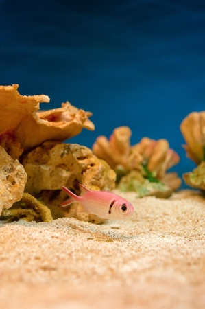 Beautiful pink sea fishes in an aquarium. Stock Photo - 10954357