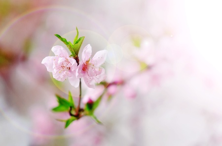 apple flowers blooming over natural background photo