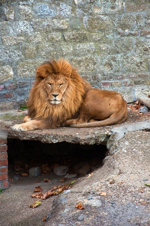 Biga male lion laying on the ground in the zoo. photo