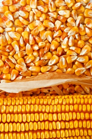 maize cultivation: Beautiful yellow ear of corn over a background of corn kernels