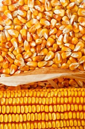planta de maiz: Oreja hermoso color amarillo de maíz sobre un fondo de granos de maíz Foto de archivo