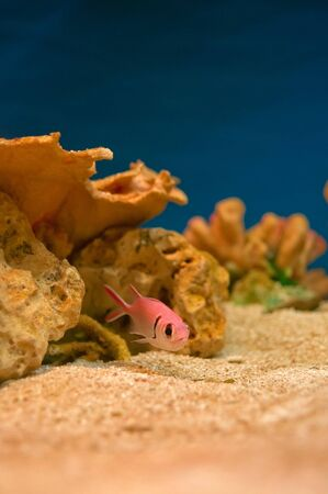 Beautiful pink sea fishes in an aquarium. Stock Photo - 11310887