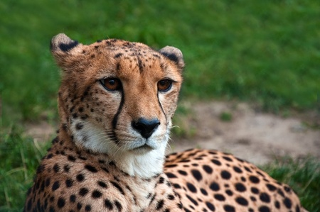 Close-up of a beautiful cheetah (Acinonyx jubatus) resting on the grass Stock Photo - 11311965