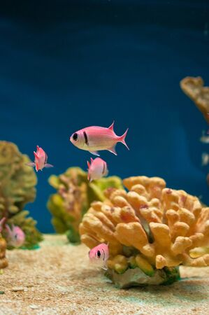 tropical tank: Beautiful pink sea fishes in an aquarium.