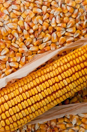 Beautiful yellow ear of corn on a background foliage photo