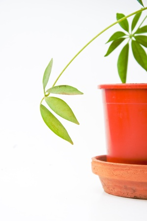 yucca: Beauttiful green plant in a small plastic pot Stock Photo
