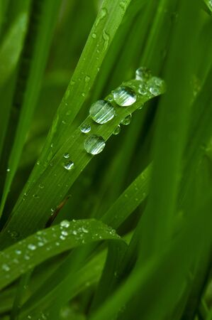 Close up image of spring green grass with fresh rainddrops, eco and environmental concept image  photo