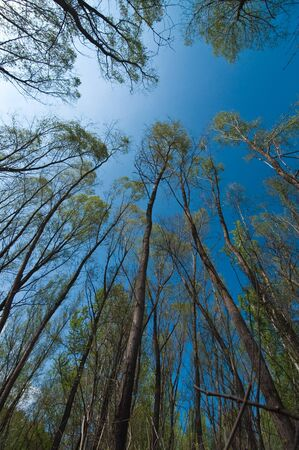 Blue sky through very tall trees in forest Stock Photo - 13367887