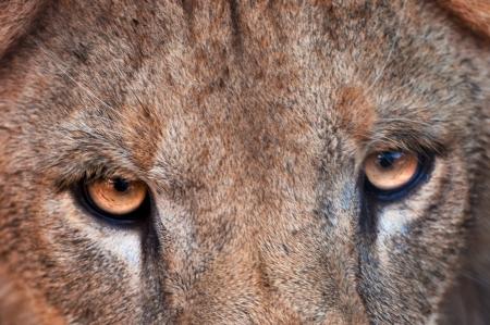 female lion: Eyes of the big female lion