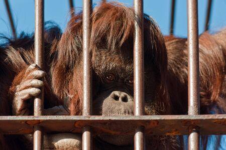 Sad face orangutan Stock Photo - 13630522