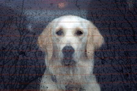 Labrador retreiver behind the rear car window on a rainy day Stock Photo - 13670173