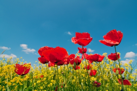 Field of corn poppy flowers  Papaver rhoeas  against the blue sky in spring morning photo